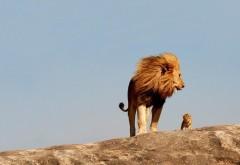 маленький львенок и большой папа лев