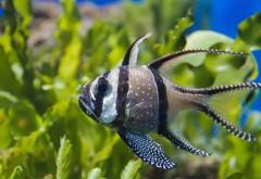 Апогон Каудерна, водоросли, рыбы