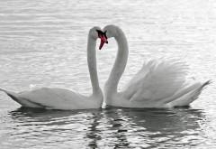 Птицы, лебеди, пруд, любовь, романтика, эмоции