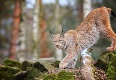 Животные, кошки, рыси, деревья, лес, дикая природа, хищник
