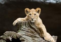 дети, глаза, лицо, львы, хищник, дикая природа, 1920x1200