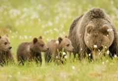 Медведи, медвежата, Семья, Мама, Дети, Лучшие обои