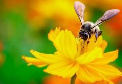 пчела, нектар, цветок