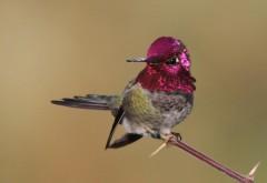 Птица, колибри, перья, розовые, скачать