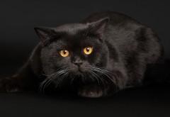 Черные кошки, глаза, обои, free background, wallpaper