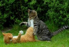 кошка, кошки рабочего стола борьба HD