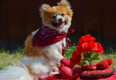 chihuahua, чихуахуа, бандана, цветы