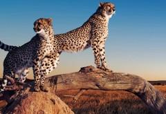 Гепарды на дереве картинки