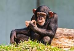 шимпанзе, мышления картинки