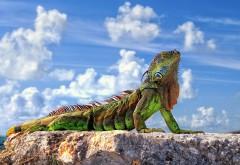 Игуана на солнце заставки бесплатно скачать