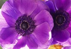 фиолетовый мак широкоформатные обои
