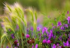 клевер, пшеница, поля, зеленые, лето, размытость