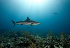 Coral Predators Shark Sea Underwater HD Background
