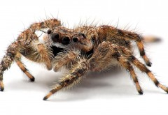 creepy tarantula free wallpaper desktop