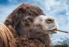 Верблюд с сигаретой
