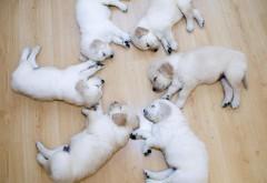 Симпатичные Шесть щенков спят в кругу обои