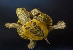 черепаха, панцырь, малышь, картинки