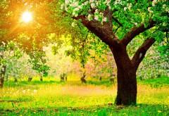 Цветущее дерево яблони весной, зеленая пора