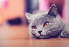 лицо, глаза, макро, котик, дымчатый