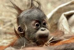 смешно, волосы младенца, обезьяна