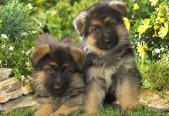 немецкий щенки овчарки заставки скачать