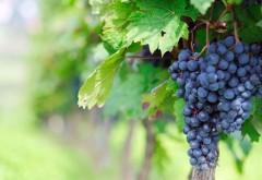 виноград HD бесплатно обои