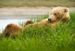гризли, травы, лежат, смешно