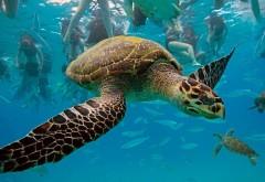 HD обои черепаха купания в море