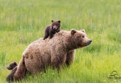 Бурый медведь и медвежата на рабочий стол