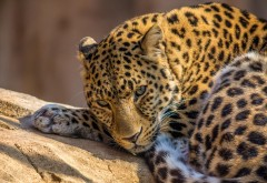 Леопард в зоопарке заставка на рабочий стол