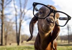 Коза в очках смешные обои на рабочий стол