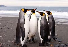 обои пингвины