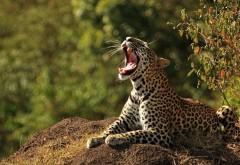 картинки леопарда