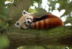 маленький красный панда