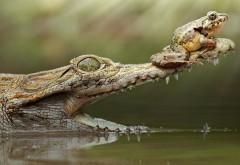 лягушка крокодил