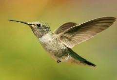 колибри, полет, птичка, макро, фото