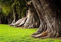 старые стволы дерева