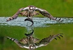 Скопа, птица, отражение, рыба, отражение, вода, добыча, улов