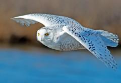 сова, белая, хищник, птица, летать