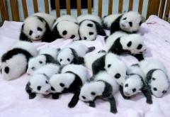 новорожденный детеныш панды, новорожденная панда фото
