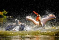 пеликаны, птица, водоплавающая, картинки