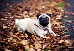 Фоны, мопс, осень, собака, листья