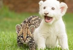 тигренок и львенок играются картинки скачать