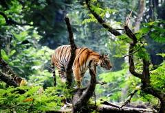 Бенгальский тигр в джунглях картинки
