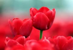 летние красные тюльпаны фоны