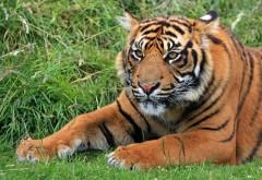 дикий тигр, Суматра, полосатый, обои