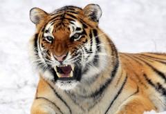 дикий тигр, хищник, клыки, снег, картинки