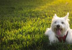Вест-хайленд-уайт-терьер собачка широкоформатные обои