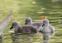 Лебеди, цыплята, вода HD обои
